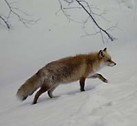 A red fox on the prowl (above and below) in Hokkaido's winter wonderland |  PHOTOS COURTESY OF IMAGES OF JAPAN