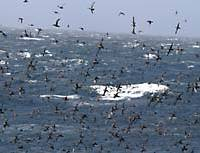Clouds of sooty shearwaters off the Snares Islands south of New Zealand ; and a young pair of southern royal albatrosses on Campbell Island