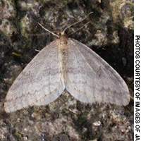 A male member of one of Japan's 28 species of fuyushaku (winter moth)