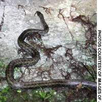 The Japanese Ratsnake is a common large snake in woodlands and on field edges, where it is a prominent rodent hunter.