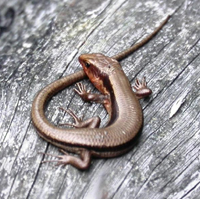 The Japanes Five-lined Skink (female, above; male, below) is one of the country's commonest small reptiles.