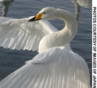 An overwintering Whooper Swan from Russia performs its powerful and graceful display on Lake Kussharo in eastern Hokkaido.