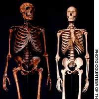 The reconstructed skeleton of a Homo neanderthalensis (above left) now on display in New York clearly shows their bulk and stockiness relative to modern Homo sapien that would have helped keep them warm.