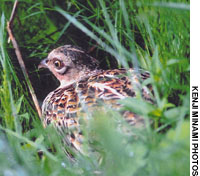 A hen pheasant well camouflaged with mottled, yellow-brown plumage sits on its nest hidden in dense brush or grass, where six to 12 eggs are laid in a clutch.