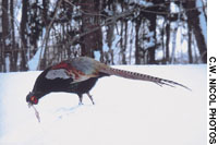 A fine cock Common pheasant (above) searches out seeds in the snow; Pheasants ready for plucking and the pot (right) hang outside a game dealer's stall in Cardiff market, South Wales.