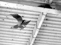 Once it was a joy to see swallows swoop under the eaves to feed their nestlings at my local Kurohime Station in Nagano Prefecture. Now, though, fake crows hung there to placate squeamish locals afraid of an occasional dropping have ensured the old nests lie forlornly unused and rotting.