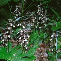 Ebine orchids (overlooked by poachers) in our woods