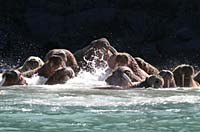 Walruses, known as 'whale-horses' in Old Norse, frolic in the surf on the coast of the Siberian isalnd of Arakamchechen.