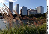Pampas grass blows in the wind at Hamarikyu Garden in Tokyo, where the beautiful old park has become a beloved green 'lung' in the concrete megalopolis -- despite it now being overlooked by the towering new Shiodome development.