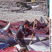 Dolphins being lanced in an undated photograph as they thrash around in the shallows on Iki Island, Nagasaki Prefecture. A similar fate awaits almost all those rounded up in ongoing 'drive fisheries.'