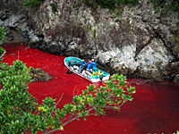 Hunters retrieve slaughtered dolphins from the blood-red waters of a cove at Taiji, Wakayama Prefecture, in this undated photo taken following a 'drive fishery' of the type going on there now. Government quotas for the 2005/2006 season permit more than 21,000 small cetaceans to be killed in Japanese waters. | PHOTO COURTESY OF SEA SHEPHERD CONSERVATION SOCIETY