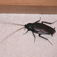 Smoky Brown Cockroach The Japan Times