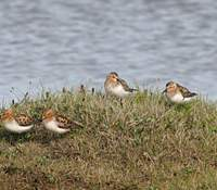 Red-necked stints in summer plumage in Russia. Abundant shorebirds of the East Asian flyway, they pass through Japan in spring and autumn.