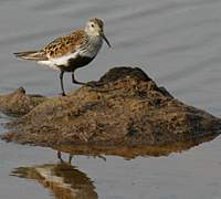 A dunlin (above) in summer plumage in Russia, and some of the small migratory waders with downcurved beaks in winter plumage in Hokkaido. Shorebirds endemic to New Zealand, wrybills are the only birds with side-durving beaks.