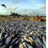 Women put out fish to dry on the beach at Negombo, Sri Lanka. Worldwide, almost 20 percent of the animal protein consumed is seafood.