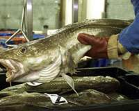 A cod is weighed at Lowestoft fish market in eastern England. Stocks of such species as this, tuna and swordfish have plunged up to 90 percent in the last 100 years.