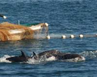 Dolphins cut off from the open sea being driven into a cove by Taiji fishermen in December 2006, prior to being slaughtered the next day. | BOYD HARNELL PHOTOS