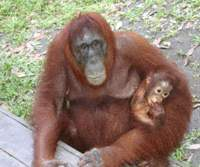 Wild orangutans 'facing extinction within 15 years'