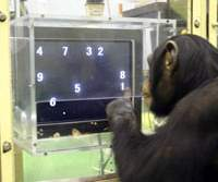 A chimpanzee named Ayumu begins a memory test with nine numerals placed in various positions on a touch-sensitive monitor at the Primate research institute in Kyoto on Dec. 13, 2006. | AP PHOTO