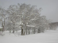 Birch trees in a beautiful, snow-blanketed landscape at Niseko in Hokkaido