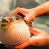 Danger dish: A fugu shows why it's called a blowfish or puffer fish in English.