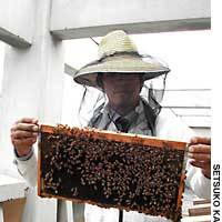 Beekeeper Seita Fujiwara shows a few of the million honey bees he has in hives on a Nagatacho roof.