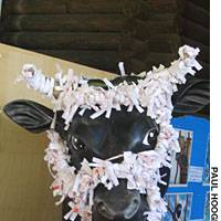 A statue of Japan's sacred cow is harnessed in 'o-mikuji' fortunes at the Genki-kun Shrine.