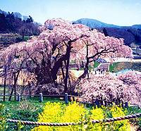 A 1,000-year-old cherry tree in Miharu Machi, Fukushima Prefecture