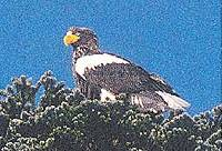 Stellar sea eagle