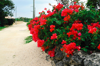 Blooming Bougainvillea along a coral-sand street