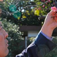 Green fingers: Takeshi Tsuchiya checks the garden's famous plum blossoms.  | KIT NAGAMURA