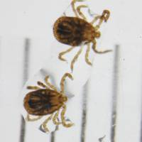 Take care with ticks to avoid potentially fatal illness
