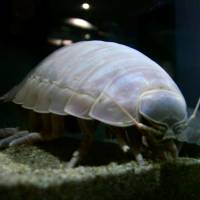 From the deep: A giant isopod is displayed at Toba Aquarium in Mie Prefecture. | KYODO
