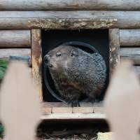 Shadowless groundhog predicts early end to winter