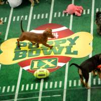 Cute overload: Puppies participate in the taping of Animal Planet's Puppy Bowl in New York on Nov. 11. | THE WASHINGTON POST
