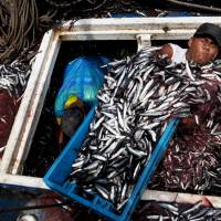 Dwindling fish stocks: Anchovies are unloaded at Peru's El Callao port, where the size of catches has declined in recent years. 'We are living as if there are three or four planets instead of one, and you can't get away with that,' says former British Foreign Secretary David Miliband, a leader of the new Global Ocean Commission. | AP