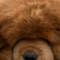 China's rich open purses for pricey Tibetan mastiffs