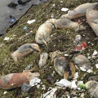 No dirtier: Dead pigs are strewn along the banks of the Huangpu River in Shanghai's Songjiang district Thursday. | AP