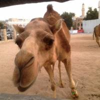 Karachi touts fresh camel milk as 'world's next superfood'