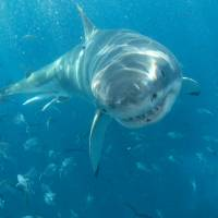 Big eater: A great white shark prepares to feast on bait off southern Australia. | BLOOMBERG