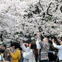 Flower power: Cherry blossom season is a classic photo op. | SATOKO KAWASAKI