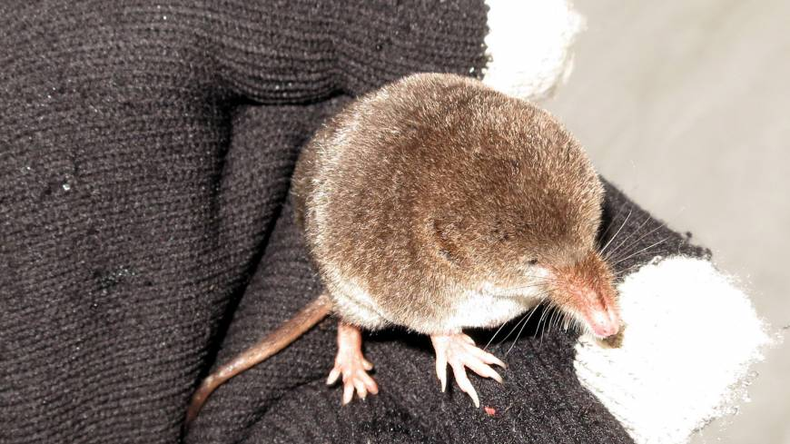 Not so tame: Rocketing through ski tracks in the Hokkaido snow, this tiny shrew provides a distraction from the day's pursuits. Fitting in one gloved hand and probably weighing less than an eyeball, the insectivorous mammal nonetheless has a feisty side.