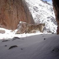 Trapped by camera: A snow leopard in Qinghai Province. | PLATEAU PERSPECTIVES.