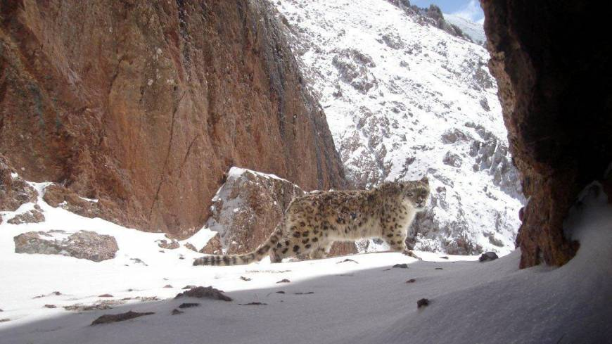 Trapped by camera: A snow leopard in Qinghai Province.