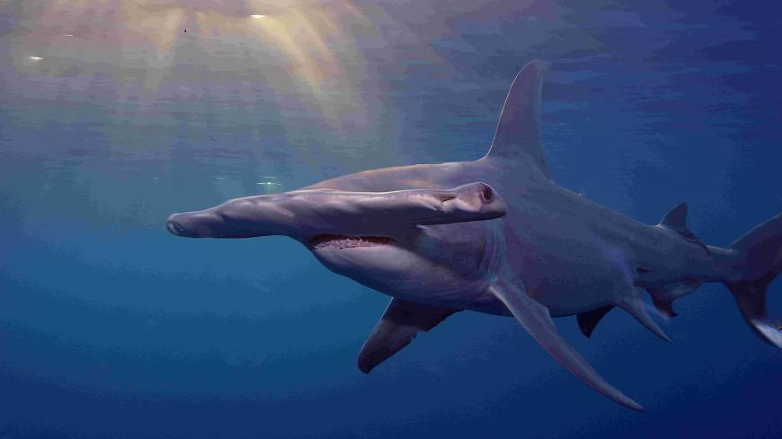 Safer in the water: Hammerhead, with Oceanic Whitetip and Porbeagle sharks, were given CITES protection to save them from excesses of the 'finning' trade.