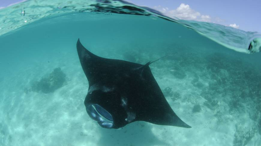 The Manta Ray was given CITES protection to save it from being eaten into extinction.?