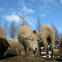 Country living: Spring Festa celebrates the births of new lambs on Mother Farm, which is located in Chiba Prefecture. | RIVER SEAL