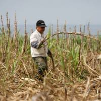 Raising cane: A farmer cuts suger cane in Yomitan, Okinawa, in February last year. | BLOOMBERG