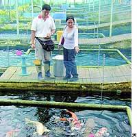 Owners take a look at their carp in a 'koi hotel' rental pond in Singapore. A carp virus in Japan is hurting Singapore's koi industry.