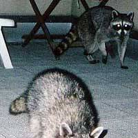 Raccoons visit the terrace of a home in Kamakura, Kanagawa Prefecture. | PHOTO COURTESY OF KAMAKURA MUNICIPAL GOVERNMENT